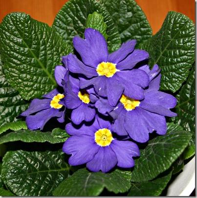 Blå Primula