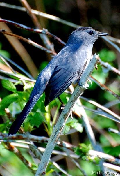 3. gray catbird-kab