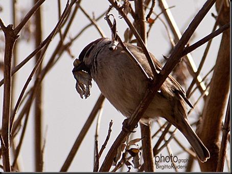 bird_20120313_pilfink
