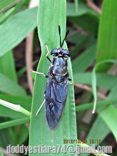 Lalat Tentara: Hermetia illucens