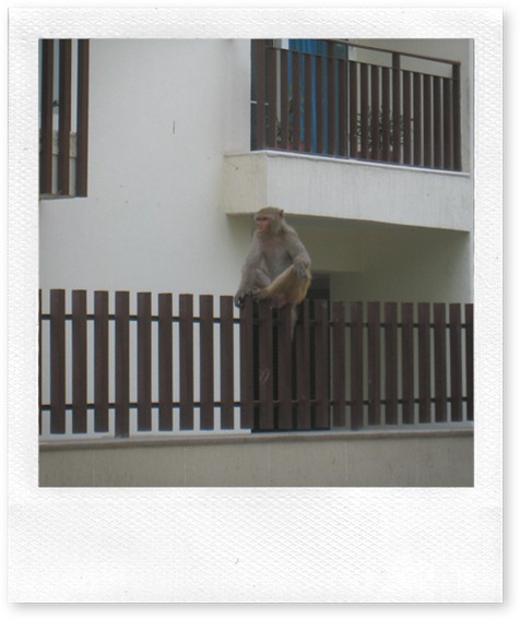 Urban monkey - just chillin' on someone's fence.