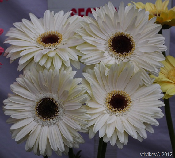 Different Types of Daisy Flowers Pictures, White Daisy Flowers