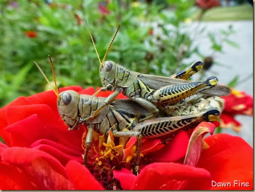 grasshoppers_013