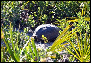 03e4 - Eagle Walk - Gopher Tortoise