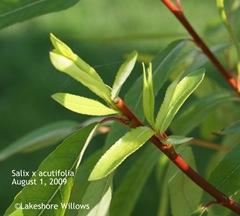 New shoot, acutifolia tree