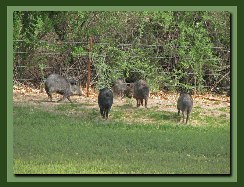 Escape of the peccary pack