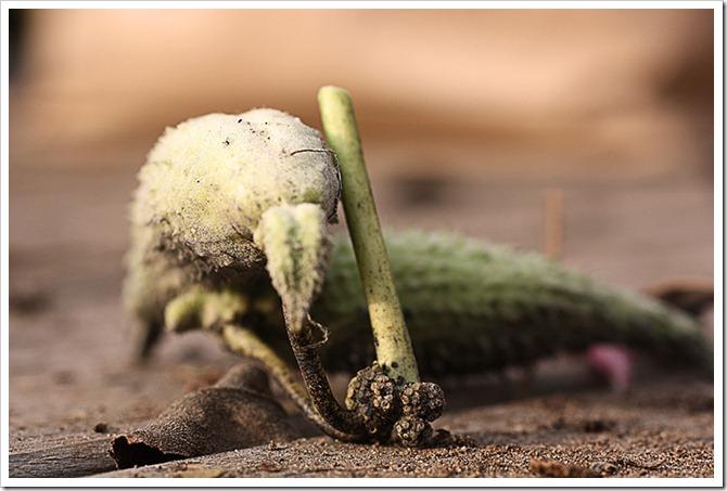 milkweed pod 2 resize