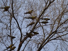Parrots in the trees!