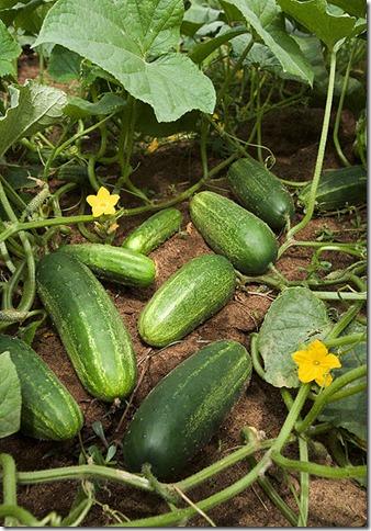 418px-ARS_cucumber