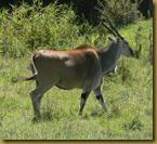 Masai mara - Eland