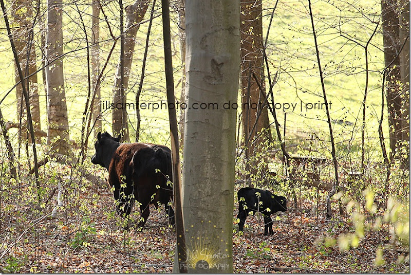 cows-6690