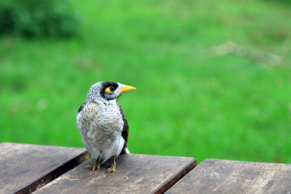 A noisy miner bird