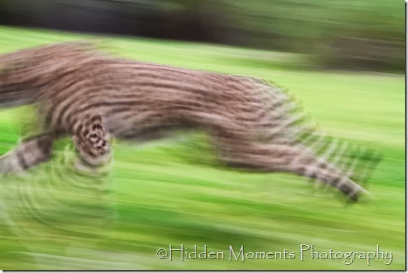 Cheetah Blur