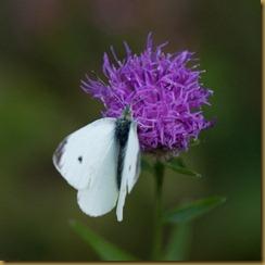 Small White