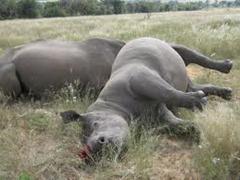 Dead rhinos