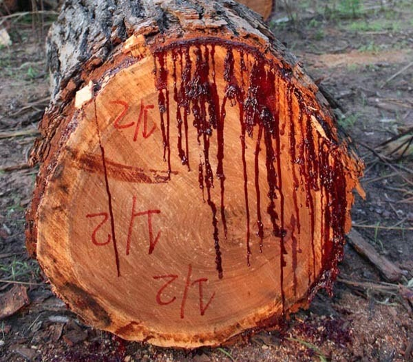 bloodwood-tree-3