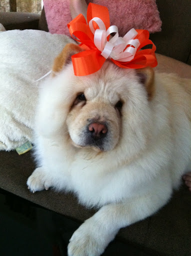 Choo Choo is a cream chow chow girl at the age of 2. She is living happily in Bangkok, Thailand and checking out Daily Wag almost everyday. Woof Woof!