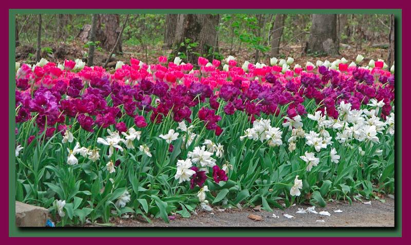 Garvan tulips