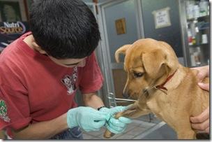 Continúa el operativo de esterilizaciones quirúrgicas gratuitas para caninos