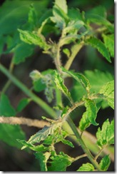 tomates DSC_021709