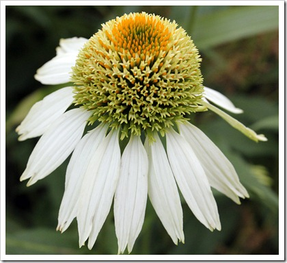 110703_Echinacea_Fragrant_Angel