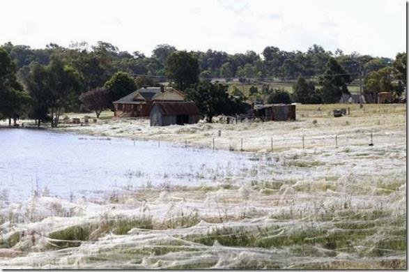 spiders-invading-australia-1