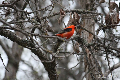 Scarlet Tanager in the trees