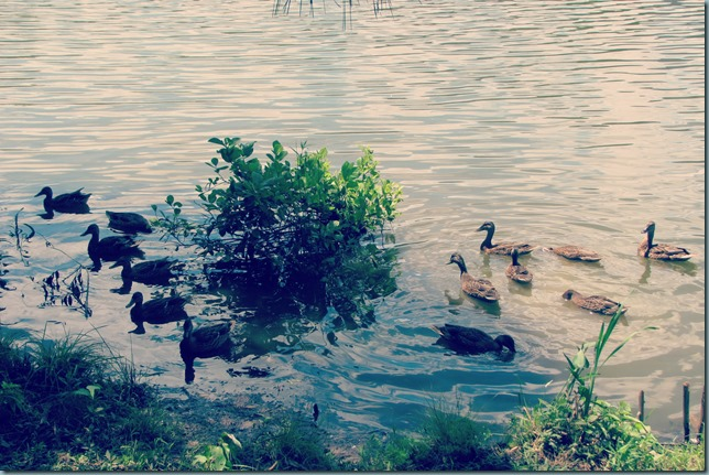 lotsa quackers