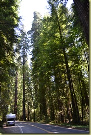 Redwoods in Valley of Giants
