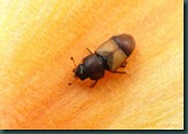 sap beetle