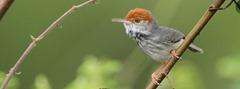 cambodian-tailorbird