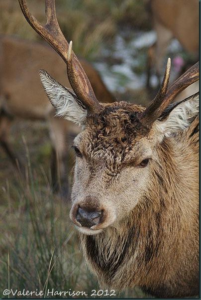 37-red-deer