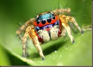 Amazing Pictures of Animals, photo, Nature ,exotic, funny, incredibel, Zoo, Maratus volans,  Peacock spider or Gliding spider, Alex (6)