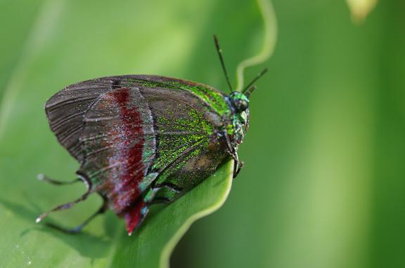 Lycaenidae : Evenus regalis CRAMER, 1775, femelle. Sertao de Barra do Una (Sao Sebastiao, SP). 20 février 2012. Photo : J.-M. Gayman