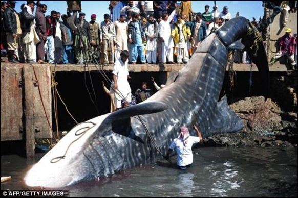 Giant 40-foot Whaleshark Caught 02