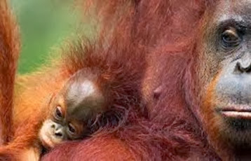 Amazing Pictures of Animals, Photo, Nature, Incredibel, Funny, Zoo, Bornean orangutan,Pongo pygmaeus, Primates, Alex (11)