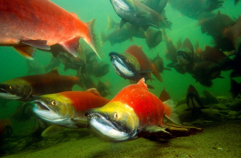 Sockeye salmons (Oncorhynchus nerka), adults migrating up the Adams River to spawn. B.C.   Canada