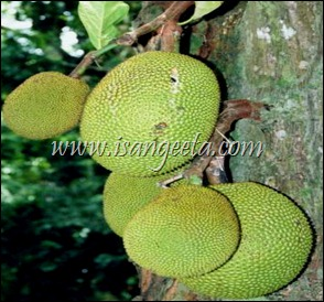 Artocarpus_heterophyllus_fruits_at_tree