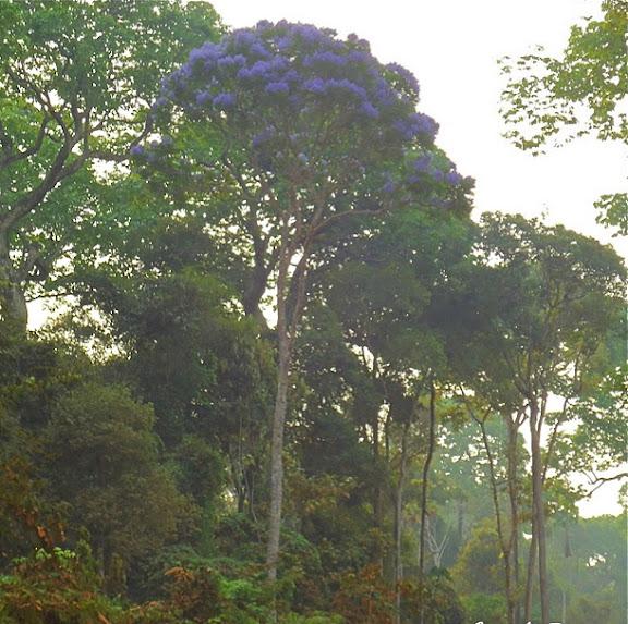 Canopée de la forêt entre Itauba et Marcelândia (Mato Grosso, Brésil), 6 septembre 2010. Photo : Cidinha Rissi