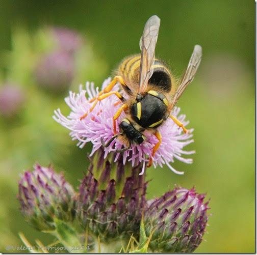 14-wasp