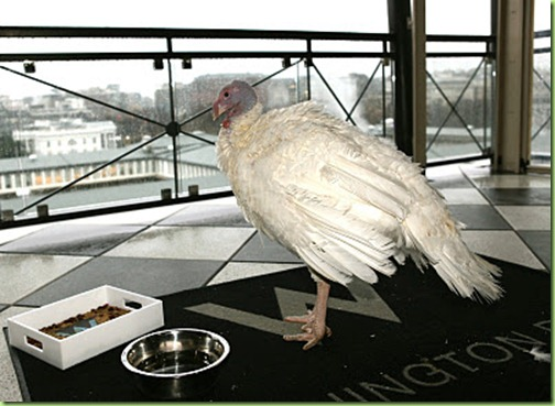 Liberty the pardoned turkey