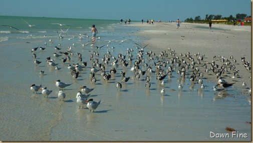Sanibel Shell and birds_172