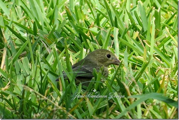 Female_Painted_Bunting1