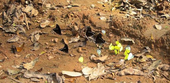 Papilio sosia ROTHSCHILD & JORDAN, 1903, mâles. Pieridae : Belenois theora DOUBLEDAY, 1846 et Eurema sp. Bobiri Forest (Ghana), 20 janvier 2006. Photo : J. F. Christensen