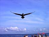 Seabirds on Manuk island (Nick Hughes, November 2007)