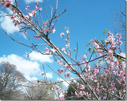 Peach Blossoms 2012 006