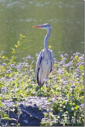 花蓮-理想大地渡假村-豐之谷生態公園。蒼鷺停靠在生態池的旁邊休息,還伸長了脖子一面觀察我的動作,模樣怪可愛的。
