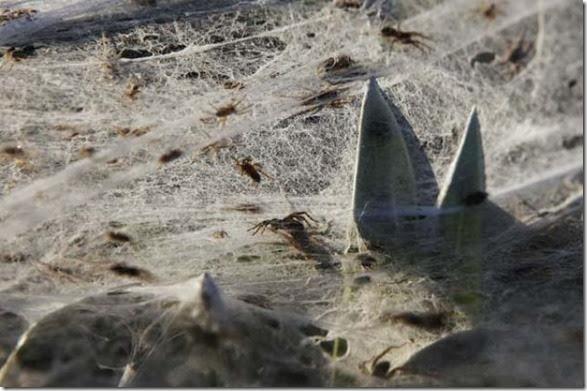 spiders-invading-australia-7