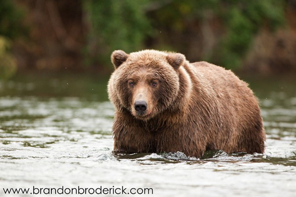 The Cross-Eyed Grizzly Bear of Katmai 00