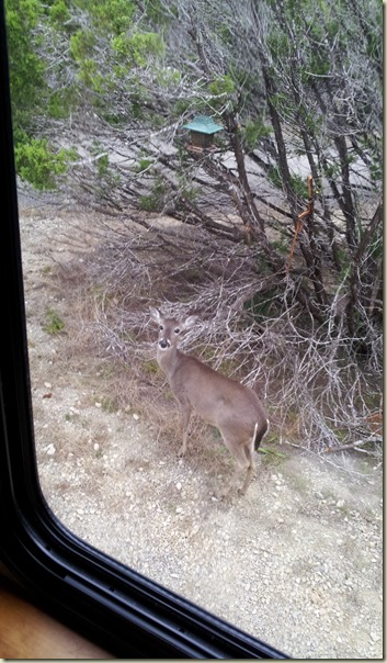 Deer at Medina Lake TT (3)
